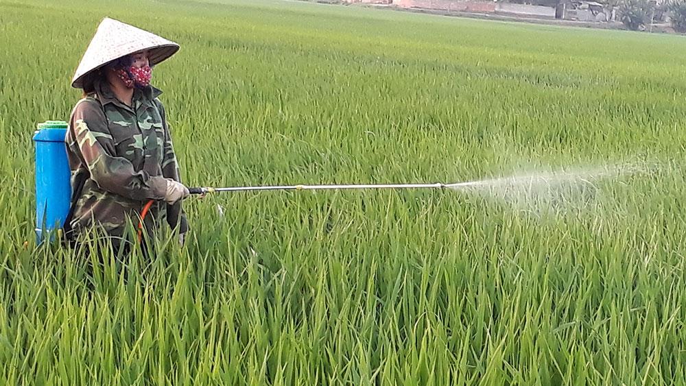 Bùng phát bệnh đạo ôn hại lúa xuân